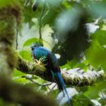 panama-quetzal
